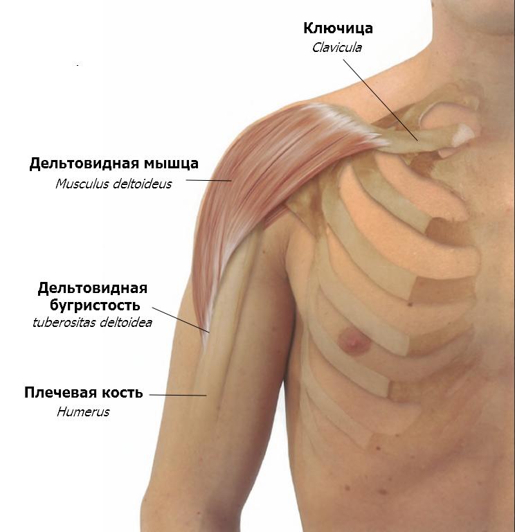 дельтовидная мышца картинки удостоверение